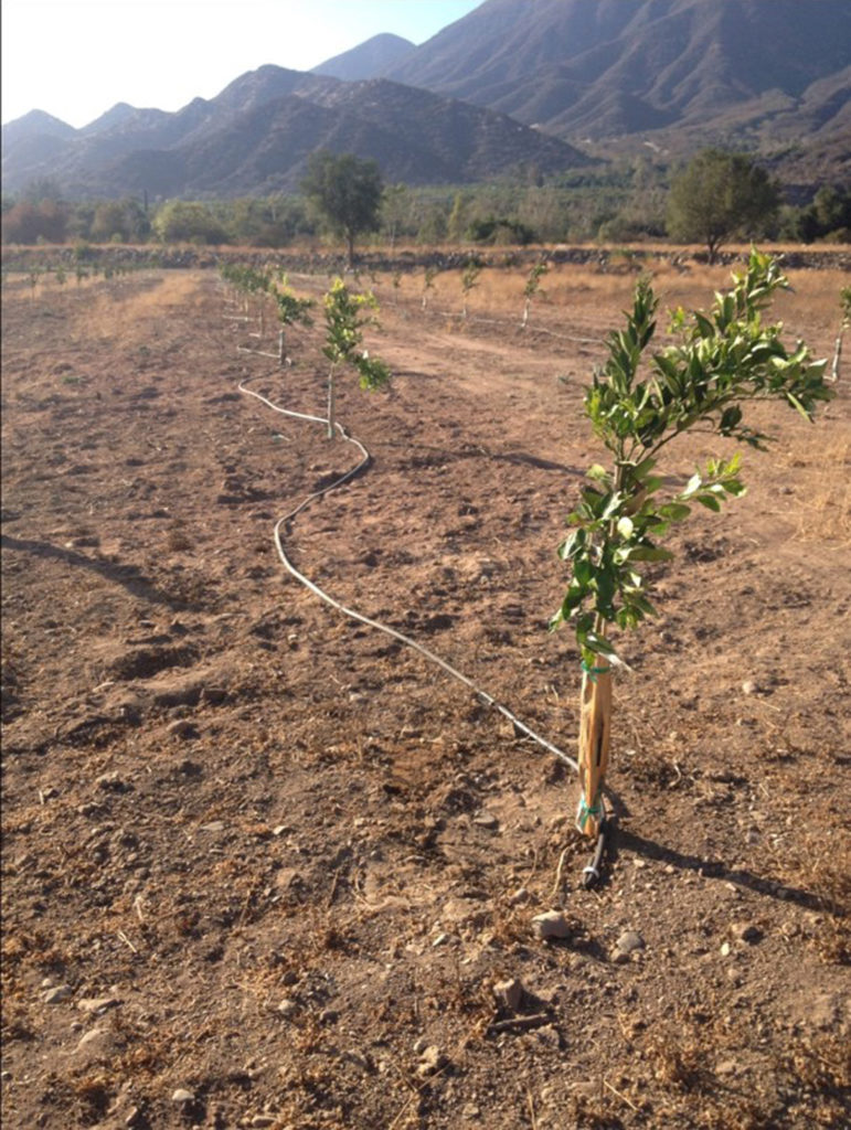 In the past 20 years, many of Ojai's farmers have replanted their aging citrus orchards to more desirable varieties such as the Ojai Pixie tangerine. Smaller trees use less water during these dry times.
